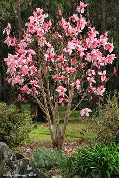 Tulpenbaum Magnolie im Topf Magnolia soulangeana Rosa Bluten