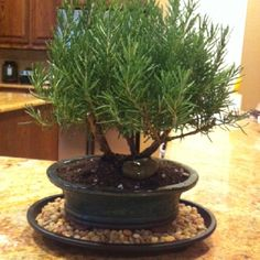 Awesome gift idea! This is a rosemary Bonsai tree I just received for my birthday... I love it!