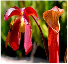 5 x Red Pitcher Plant Sarracenia rubra gulfensis Seeds, Sweet Pitcher Plant SEEDS