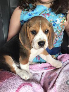 Beagles, Haha, Cute Animals, Pets, Board, Dreams, Pretty Animals, Ha Ha, Cutest Animals