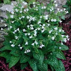 Lungwort Sissinghurst White, Pulmonaria officinalis Sissinghurst White, Lungwort - Perennials from American Meadows Plants, White Flowers, Planting Flowers, Shade Garden Plants, Perennials, Woodland Garden, White Gardens, Shade Plants, Landscaping Around House