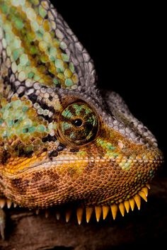Chameleons don't just change color for camouflage—they also use different colors and patterns to signal their moods and intentions to other chameleons. Get up close with one in this great shot by Sera.D.