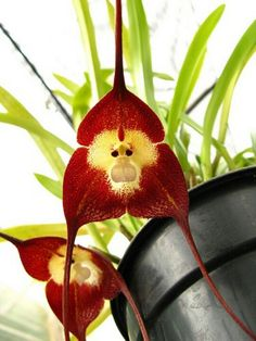 Monkey Faced Orchid