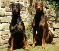 Doberman Pinschers - Black and Brown