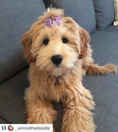 with ・・・ I think this is my favorite… Winnie looks extremely beautiful with our bows ? Goldendoodle Grooming, Mini Goldendoodle, Dog Grooming, Standard Goldendoodle, Goldendoodle Haircuts, Dog Haircuts, Cockapoo Haircut, Cute Dogs And Puppies, I Love Dogs