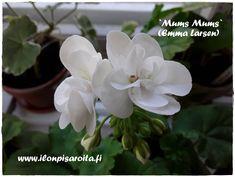 Ihana `Mums Mums` yritti kukkia äitienpäiväksi, mutta ei ihan ehtinyt.