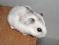 adorable baby dwarf hamster