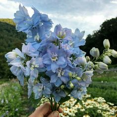 Nature Aesthetic, Flower Aesthetic, Blue Aesthetic, My Flower, Wild Flowers, Beautiful Flowers, Ranunculus Flowers, Fresh Flowers, No Rain