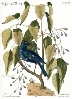 Violet grosbeak with Poisonwood.  By Mark Catesby (1722)