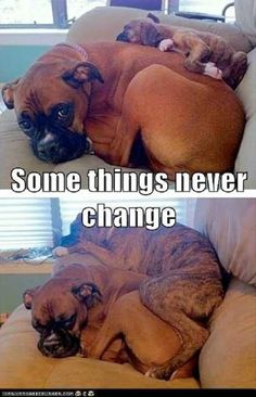 So true! Boxers adore sitting on top of each other and their people. They are so loving