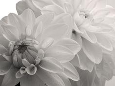 Blumenbild Dahlien in Sepia