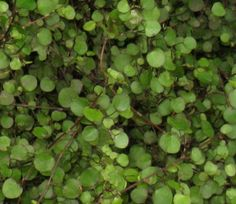 Muehlenbeckia: Wandering Wire Vine as Groundcover at Portland Nursery and Garden Center. Portland, Vines, Nursery, Gardening, Fruit, Garden Ideas, Plants, Cottage, Yard