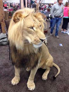 Full lion taxidermy.