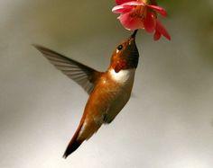 Hummingbird Hummingbird Hummingbird