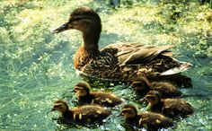 New York Rescue Crews Save Ducklings in Storm Drain