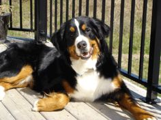 Marley!!  Bearnese Mountain Dog