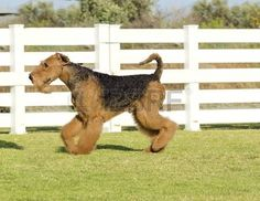 airedale: A profile view of a black and tan Airedale Terrier dog walking on the grass, looking happy. It is known as the king of terriers as it is the largest breed of terriers and for being very intelligent, independent, strong-minded, stoic, and sometimes stubbor