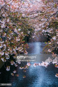 Stock Photo : Sakura blooming at Meguro River, Tokyo