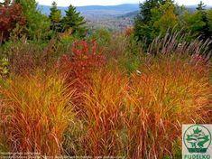 Miscanthus purpurascens - flame-grass-at-edge-of-north-garden-meadow-edge Prairie Garden, Meadow Garden, Tall Ornamental Grasses, Secret Garden Door, North Garden, Splendour In The Grass, Garden Entrance, Garden Steps, Ornamental Grasses