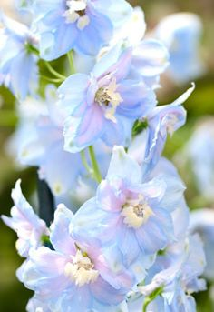 Native to England, home flower gardeners are growing delphinium for their beautiful, feathery leaves and tall spires of blossoms that bloom all summer long.