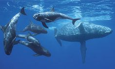Help Stop the Navy's Attack on Whales! https://secure.nrdconline.org/site/Advocacy?cmd=display=UserAction=3053 @Sea Shepherd Conservation Society #defendconserveprotect