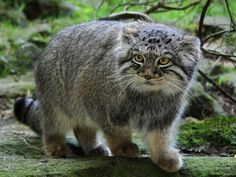 Resultado de imagem para gato-de-pallas ou Manul