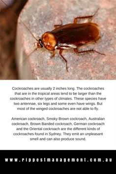 Cockroach Control - Get Rid of Cockroaches