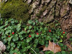 Mitchella repens - Partridgeberry. Edible berry. Tea made from leaves. Used in modern herbalism as an aid to childbirth. Tea made from the berries has a sedative effect on the nervous system. Grows in shade.