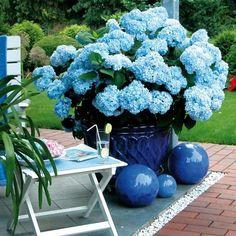 Simple Die Hortensie Endless Summer in Blau ist eine wundersch n bl hende Hortensiensorte die den Garten den ganzen Sommer ber mit einem romantischen Blickfang