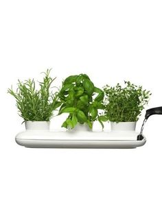 growing herbs indoors from cult kitchen farming, evergreen herb