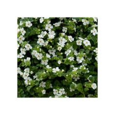 Bacopa Gulliver Dynamic White Culture, 27 Avril, Mai, Bun Hair, Nice Flower, Greenhouses, Flowers, Plants