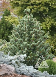 Pinus parviflora Bergmani:  In spring, the bright, carmine-red pollen cones provide a dramatic contrast to the long, twisted, blue-green needles of this Japanese White Pine. The compact, rounded shrub or tree develops a wide, irregular, upright habit that makes a nice architectural accent.