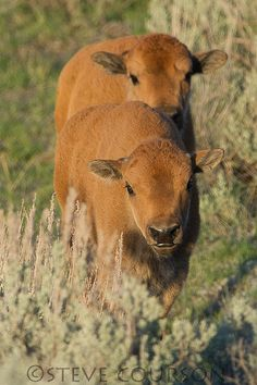 baby bison. Love baby bison's they are so cute.