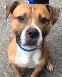 Rocky *URGT* IMMED FOSTER HOME NEEDED is an adoptable Dog - American Staffordshire Terrier & Boxer Mix searching for a forever family near Bronx, NY. Use Petfinder to find adoptable pets in your area.