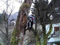 https://flic.kr/p/PJUcRB | Great Spotted Woodpecker | Great Spotted Woodpecker, male (Buntspecht, Dendrocopos major), Austria, 2017-01-02