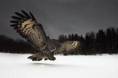 #5 Great Grey Owl