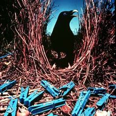 And I Think to Myself...What A Wonderful World.: Creature Feature: Bowerbird.
