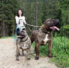 Although we, as dog lovers, are fond of all dogs, we all have a slight preference for one particular breed. Giant Animals, Big Animals, Animals And Pets, Bull Mastiff Dogs, Mastiff Breeds, Bull Terriers, Huge Dogs, Giant Dogs, Beautiful Dogs