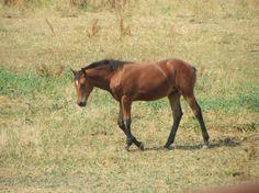 Enjoying the sun and the good life of a foal ... Novi van Haflonië