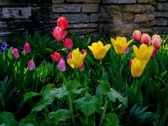April tips When purchasing bedding annuals this spring, choose properly grown plants with good colour. Buy plants with well-developed root systems that are vigorous, but not too large for their pot… Free Pictures, Free Images, Tulip Bulbs, Root System, Buy Plants, Tulips Flowers, Beautiful Gardens, Gardening Tips, Garden Landscaping