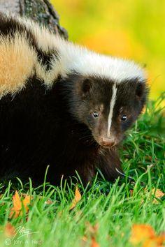 Striped Skunk, Ontario