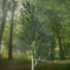 Asset Store - Birch Tree
