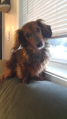 That adorable dachshund head tilt