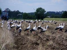 Stork - Lithuanian national bird