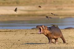baby hippo scared by birds