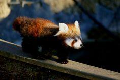 500px / Photo red panda baby plodding over small bridge by Christian Mokri