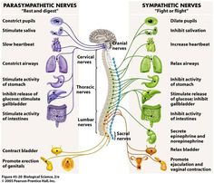 Parasympathetic Division: Conserves bodily resources Sympathetic Division: Mobilizes bodily resources Both part of Autonomic Nervous System in the Peripheral Nervous System Nervous System Diagram, Nervous System Anatomy, Diaphragmatic Breathing, Peripheral Nervous System, Endocrine System, Nursing School Notes, Vagus Nerve, Pharmacology Nursing, Nursing Tips