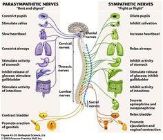 Autonomic Nervous System Parasympathetic vs Sympathetic