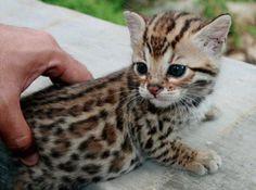 I WANT A BABY OCELOT!!