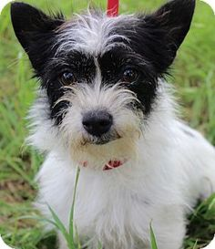 Monroeville, PA - Norwich Terrier/Terrier (Unknown Type, Small) Mix. Meet DOLLY, a dog for adoption. http://www.adoptapet.com/pet/15517755-monroeville-pennsylvania-norwich-terrier-mix